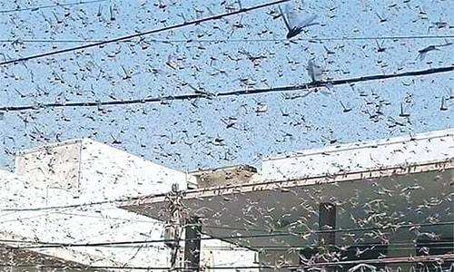 Centre sends two planes to help Sindh fight locusts