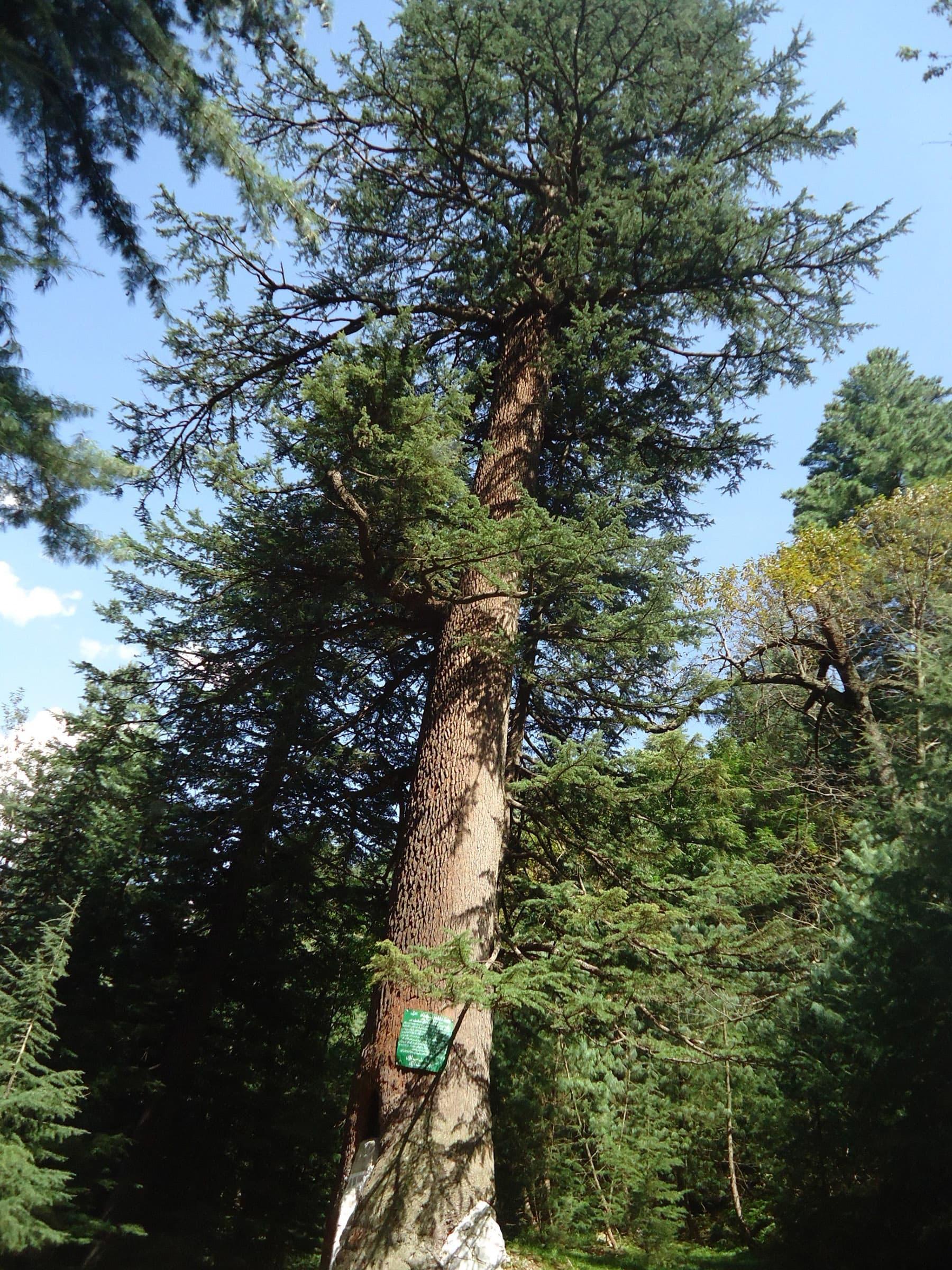 دیودار کے درختوں کا جد امجد—تصویر لکھاری