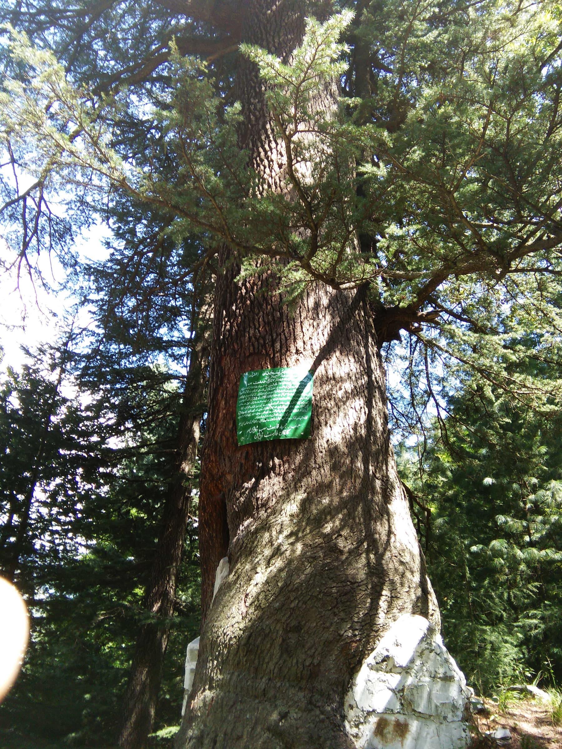 بلاشبہ یہ درخت دیودار درختوں کا 'کے ٹو' ہے—تصویر لکھاری