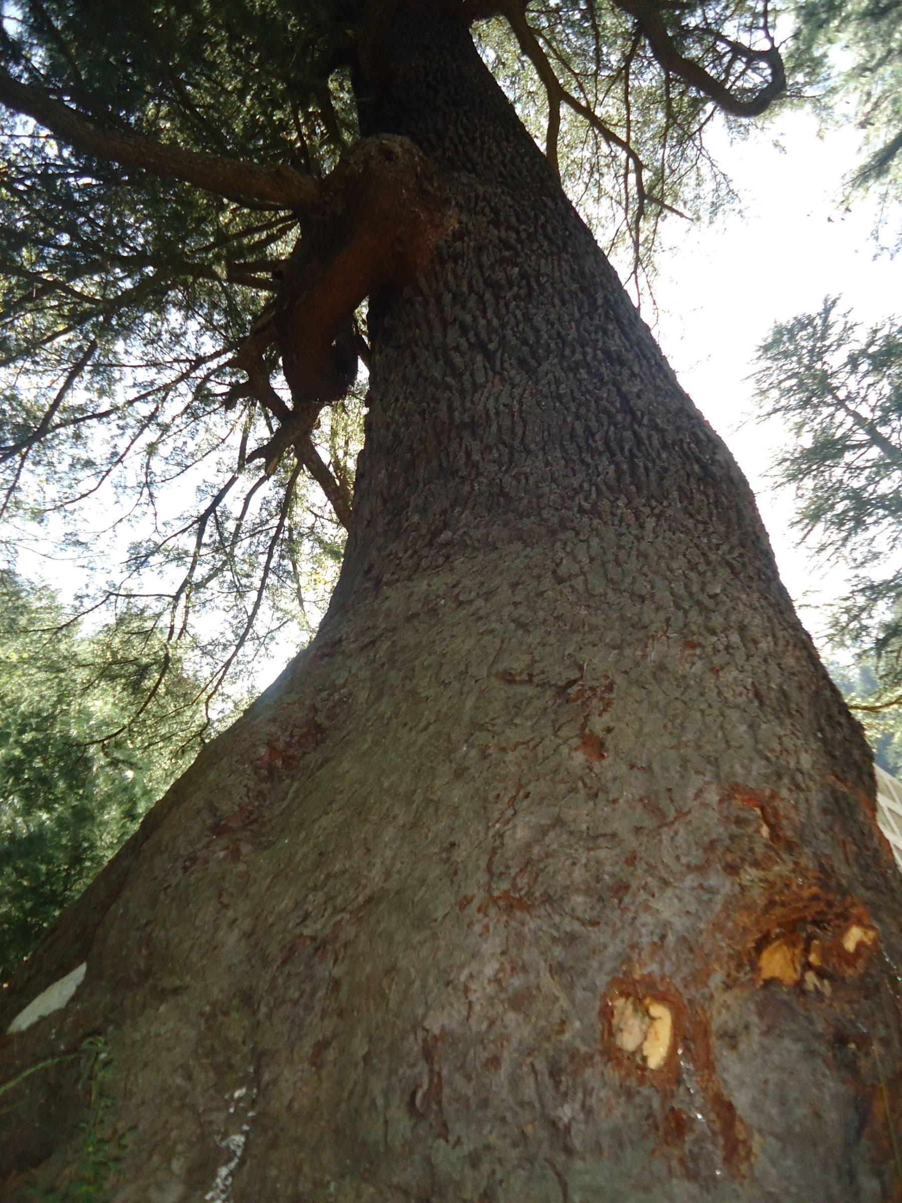 اس شاکی درخت نے یہ بھی کہا کہ انسان اپنی نادانی اور کوتاہ فہمی کی بنا پر جنگلات کے جنگلات مٹانے پر تلے ہوئے ہیں—تصویر لکھاری