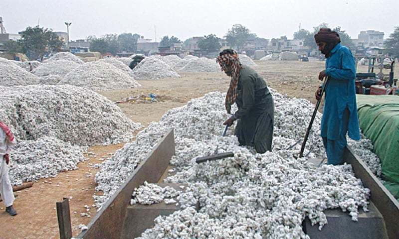 Labourers unload cotton from a tractor-trolley at the Ghalla Mandi in Bahawalpur. Harsh weather and pest attacks along with use of uncertified seed and poor quality pesticides by growers has led to reduced per acre yield. — APP/File