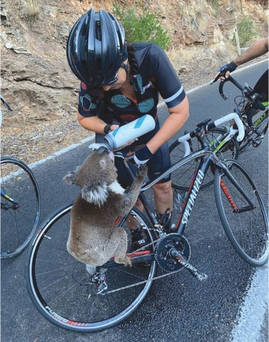 A koala receives water from a cyclist during a severe heatwave that hit the region in Adelaide Hills.—Reuters