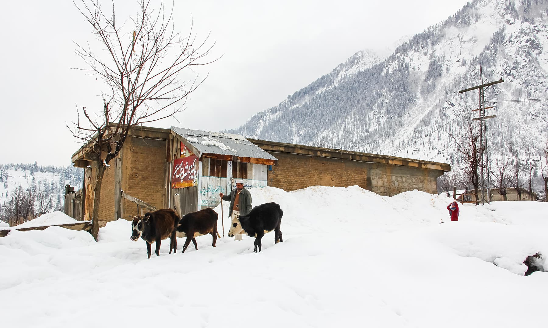 **A local walks his cows in Kalam valley. — Photo by author**