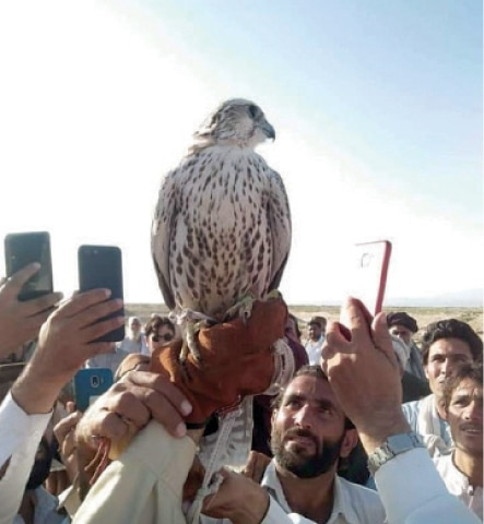 An endangered Sekker falcon was trapped and sold for Rs9.9m in Balochistan using social media. Trappers wait to capture falcons when they escape the Siberian winter and migrate 5,000 miles to the coast of Balochistan.