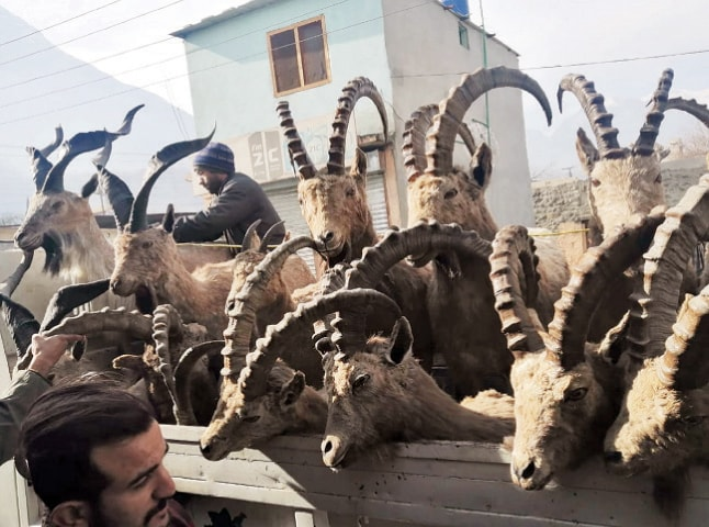 Conservationists confiscate a truckload of stuffed wild goats sold on social media in Gilgit-Baltistan.