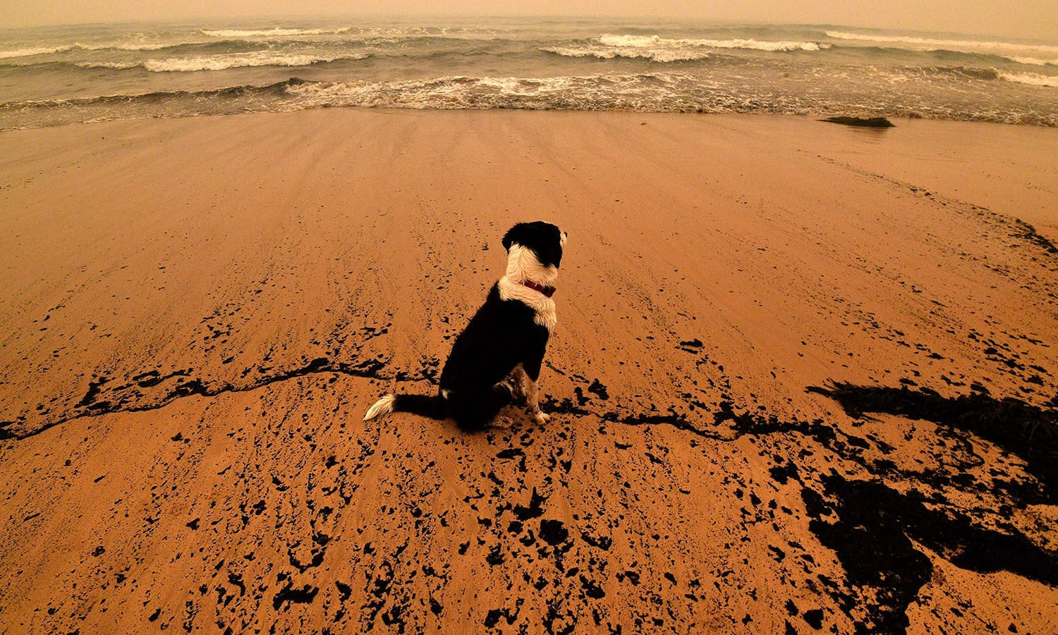 A dog sits amongst ash from bushfires washed up on a beach in Merimbula. — AFP