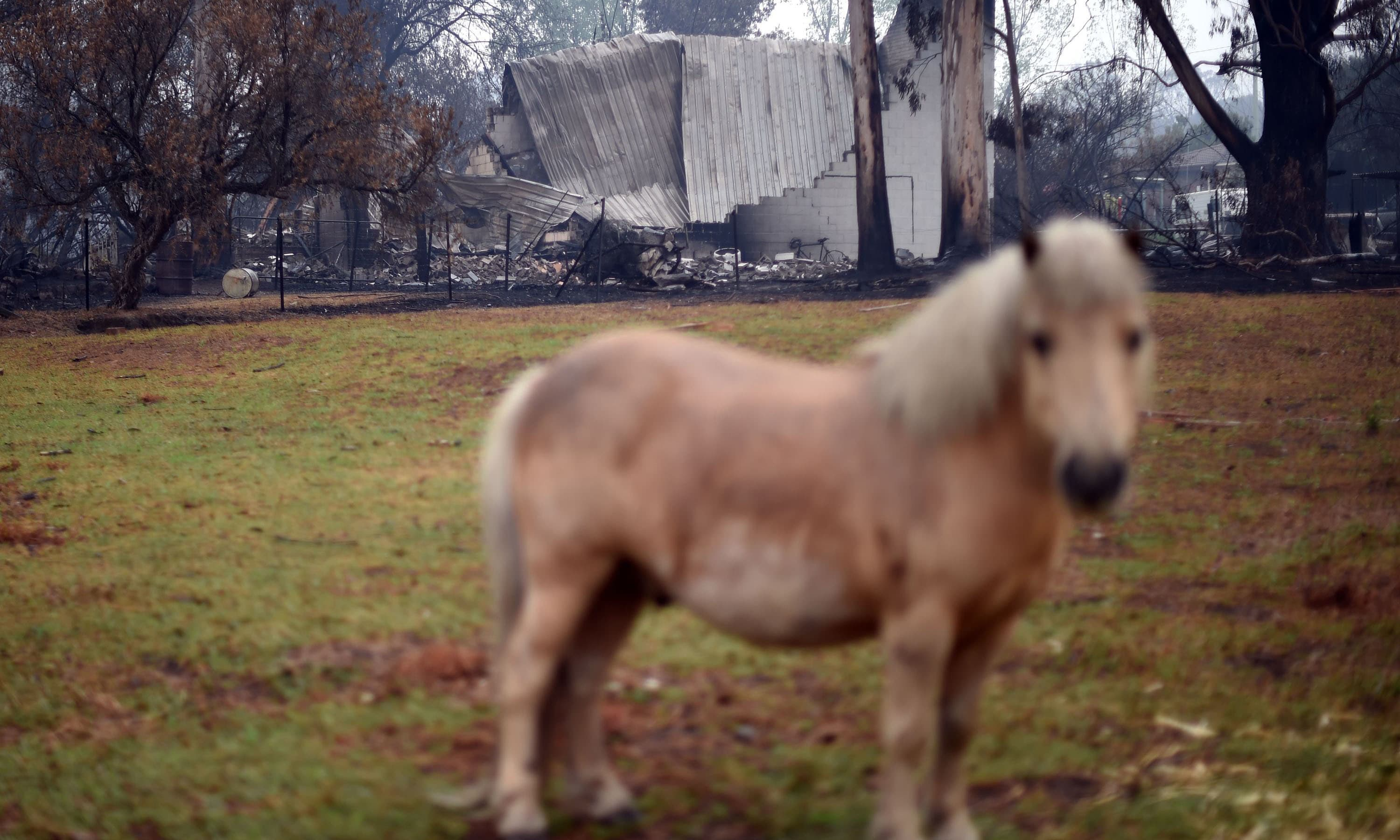 A horse grazes in front of a burnt house after an overnight bushfire in Cobargo — AFP