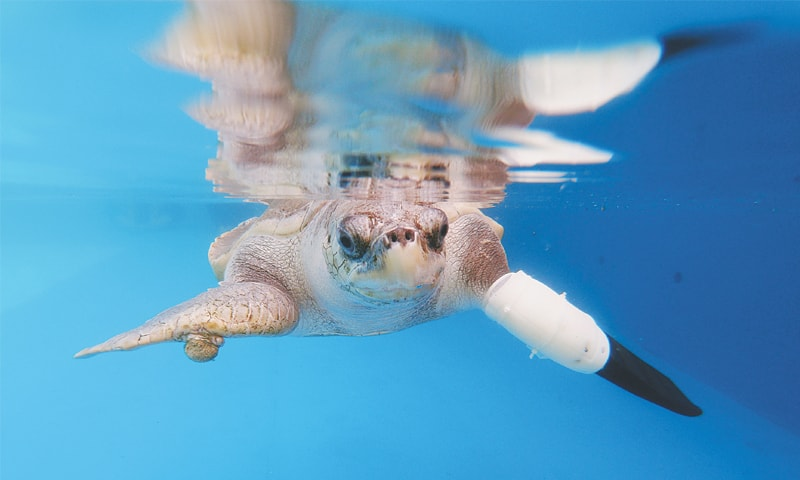 PHUKET (Thailand): Goody, a female turtle, tests out the first prosthetic flipper that will help other sea turtles injured from fishing gears to swim again.—Reuters