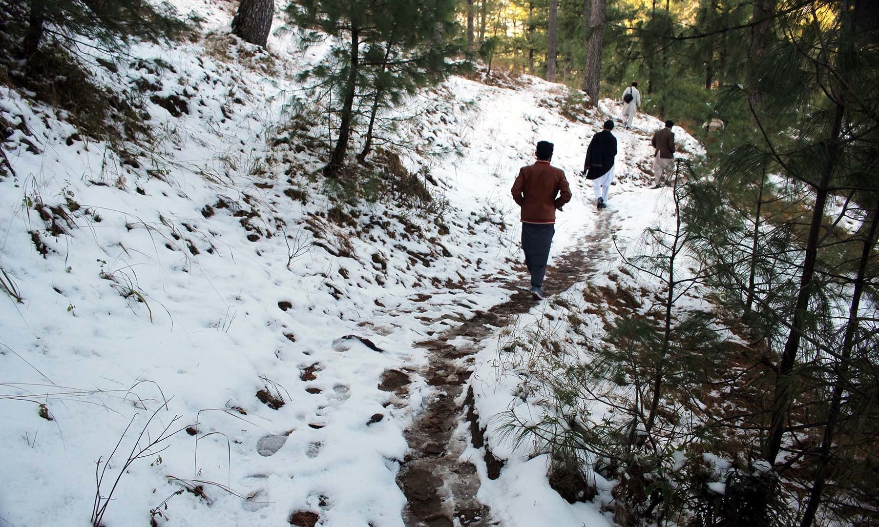 Winding paths within a forest teeming with pine trees lead to Jenako Maidan.