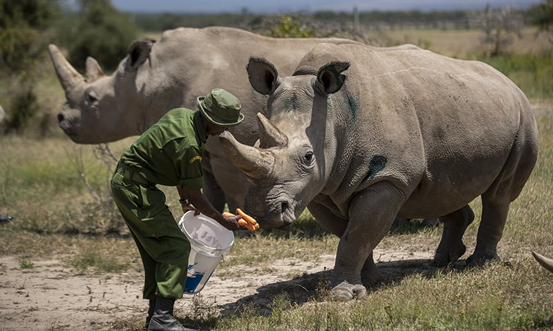 In this August 23, 2019 photo, female northern white rhinos Fatu, 19, right, and Najin, 30, (L), the last two northern white rhinos on the planet, are fed some carrots by a ranger in their enclosure at Ol Pejeta Conservancy in Kenya. — AP