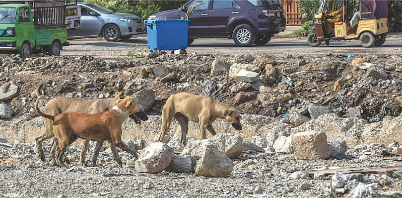 A pack of stray dogs roams around in the Clifton area on Thursday.—Fahim Siddiqi/White Star
