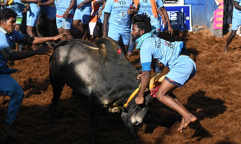 A participant tries to control a bull during the annual bull-taming 'Jallikattu' festival in  Allanganallur village on the outskirts of Madurai in the southern state of Tamil Nadu on January 17. — AFP