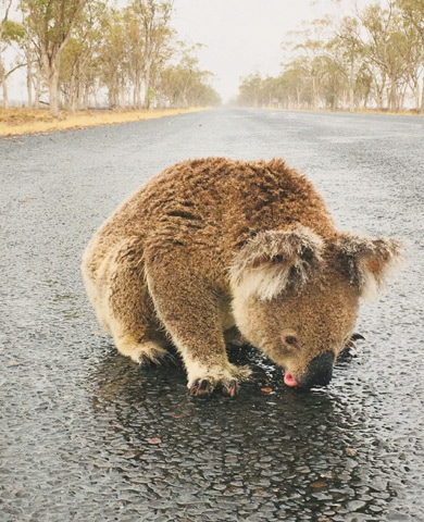 A koala licks rainwater off a road near Moree, New South Wales, Australia in this picture obtained from social media.—Reuters