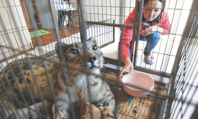 BISHKEK (Kyrgyzstan): Saltanat Seitova, who heads a social welfare foundation, gives water to Jaabar, a snow leopard found wounded in a forest near the town of Talas earlier this month.—Reuters