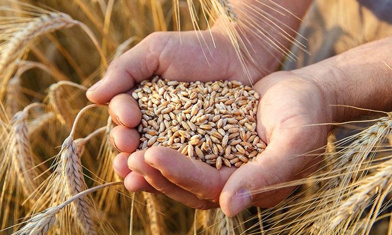 ای سی سی نے جون 2019 میں ملک میں آٹے اور گندم کی فراہمی میں کمی کی نشاندہی کی تھی —تصویر: شٹر اسٹاک