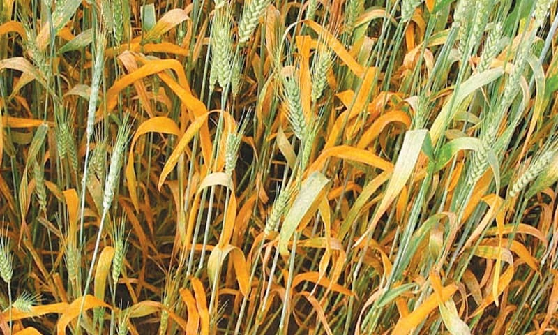 National wheat board may be formed to avert future crisis