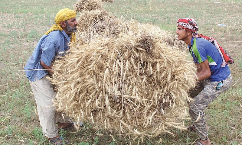 Faisalabad: Farmers in collect wheat stalks. According to CIMMYT, as much as 30pc reduction in South Asia's wheat yields has been forecasted by climate change experts if farmers continue to use current varieties and practices.—APP file photo