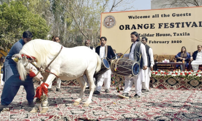 A horse dances at the Orange Festival in Taxila on Sunday. The other picture shows guests enjoying oranges. — Dawn & INP