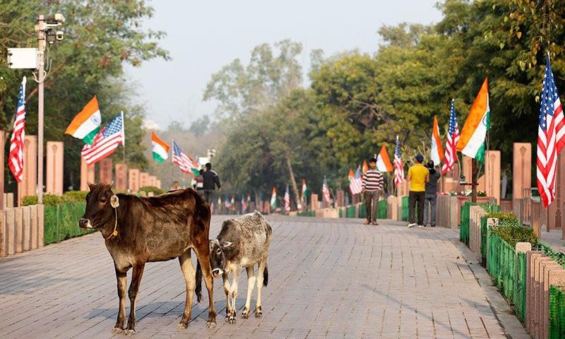 امریکی صدر کے سفر کے راستوں سے انسانوں اور دیگر جانوروں کو ہٹایا گیا مگر گائے کو آزاد چھوڑا گیا—فوٹو: اے ایف پی