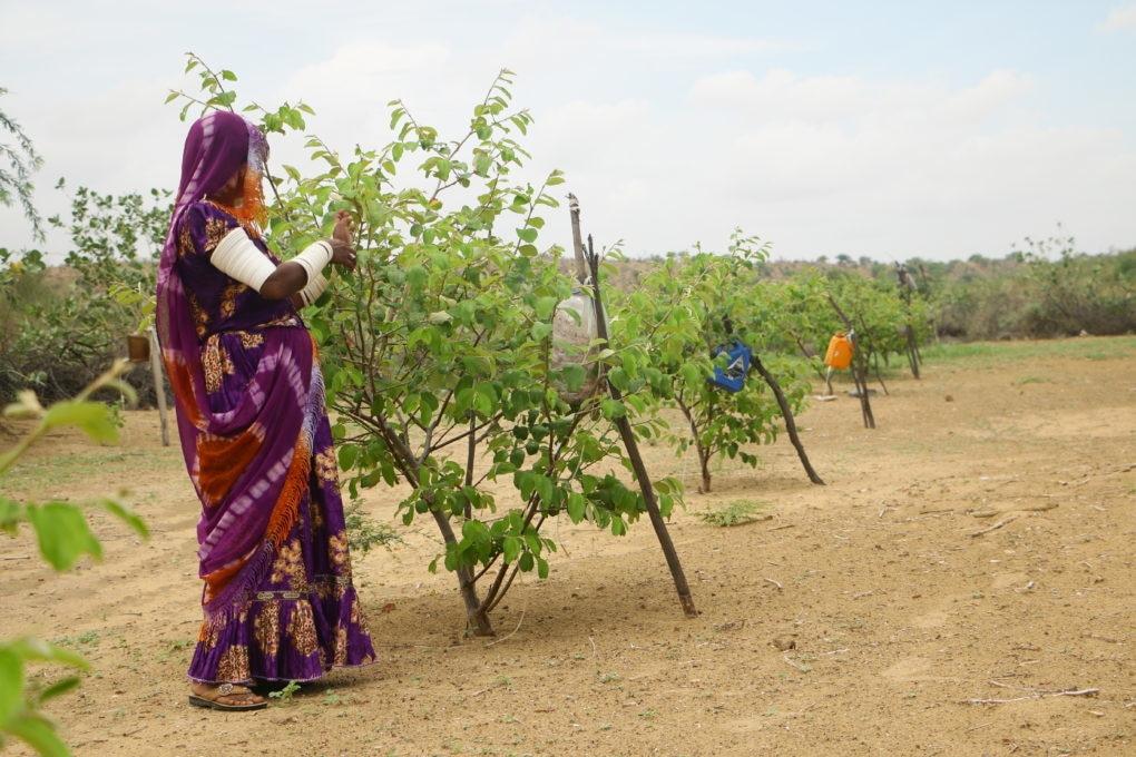 2017ء میں ایک خاتون پھلتے پھولتے پھلوں کے باغ میں کھڑی ہے—تصویر منوج گینانی