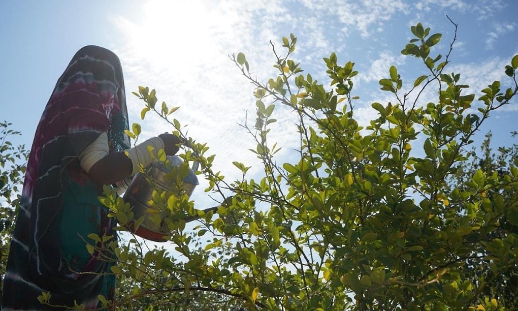ایک خاتون بیر کے پودوں کے بیچ لگے لیموں کے پودے کو پانی دے رہی ہے—تصویر منوج گینانی