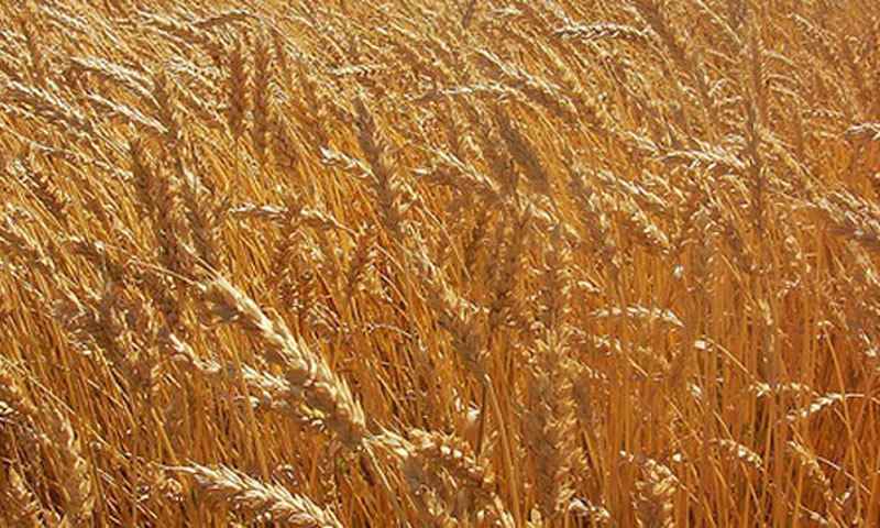 Food department directed to prepare a comprehensive mechanism for wheat procurement. — AFP/File