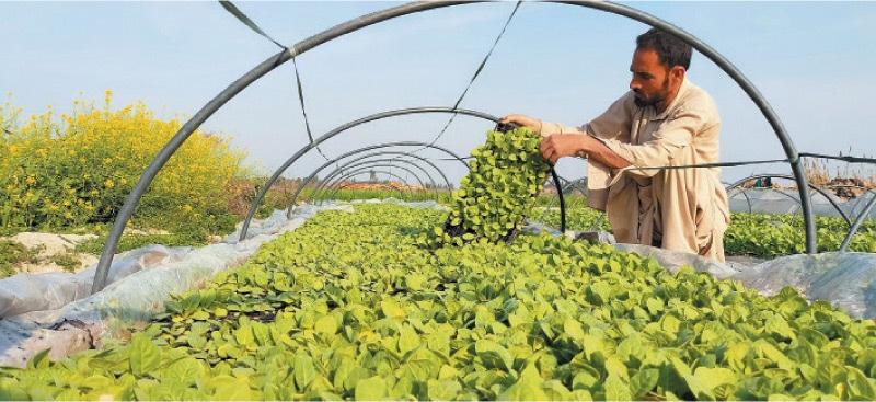 A farmer works at a tobacco nursery in Swabi. — Dawn