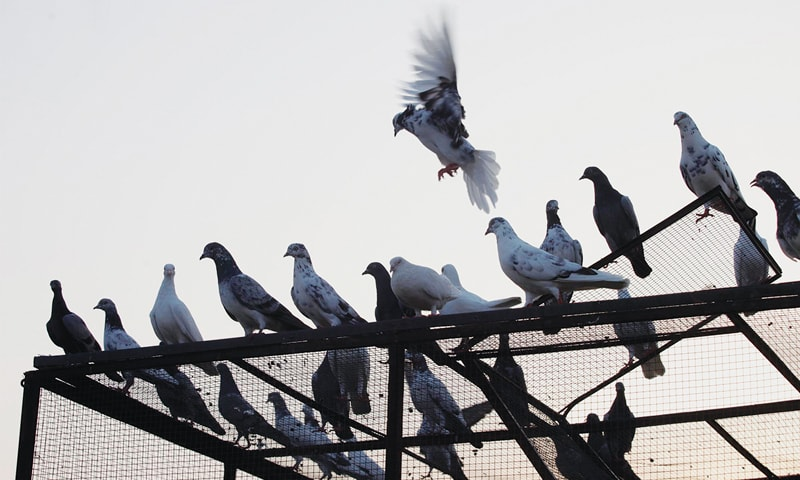 The Peshawar Racing Pigeons Association on Friday concluded the second day of its longest-ever pigeon race. — File