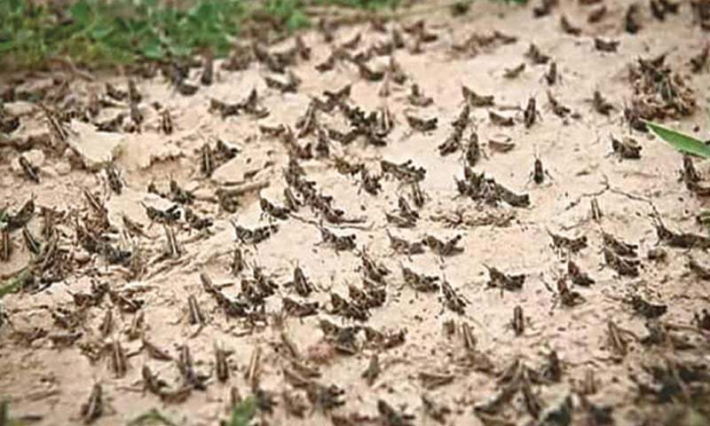 Fight against locust attacks to be strengthened