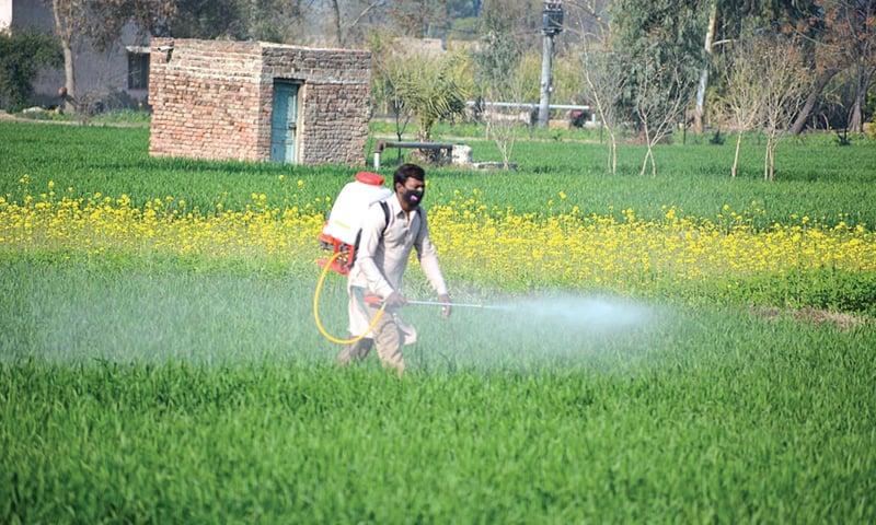 FAISALABAD: A farmer sprays pesticide on his wheat crop.—APP