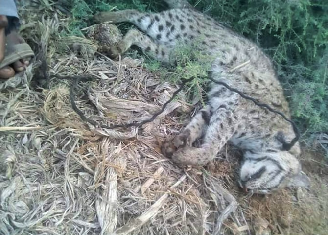 THE wild cat's carcass with rope tied round its neck in Ahmed Samoo village.—Dawn