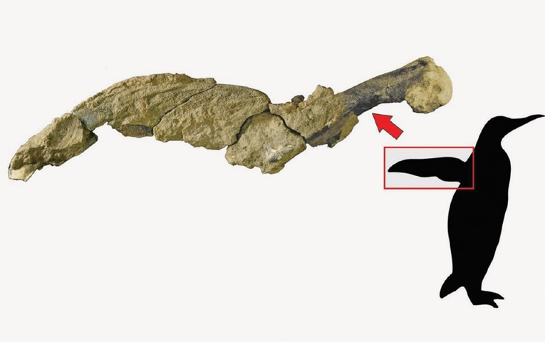 This handout picture released by the Argentine Antarctic Institute shows a jointed wing of a 43 million-year-old penguin founded at the Marambio Island, Antarctica.—AFP