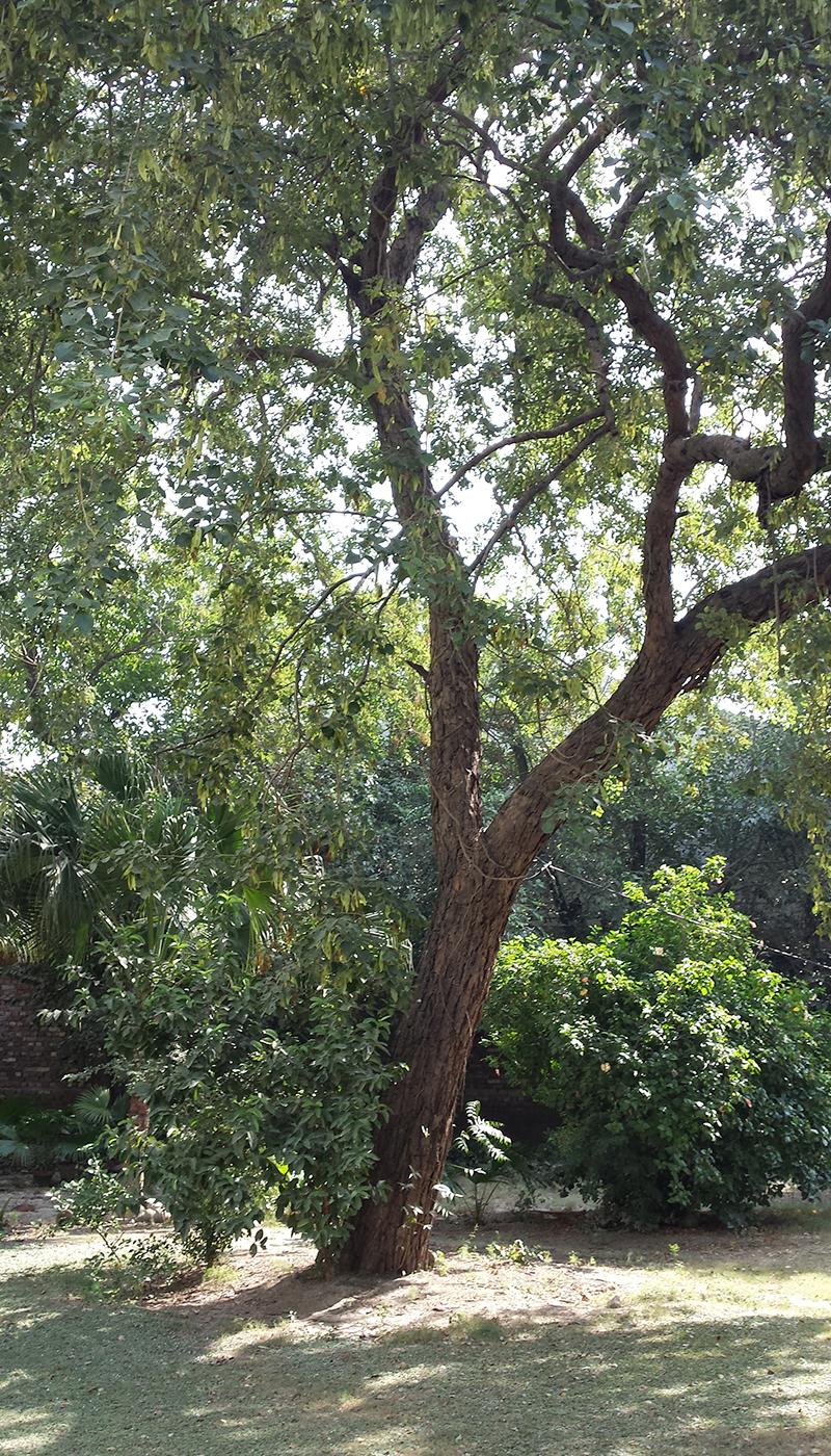 مبشر حسن نے یوم تاسیس کی یاد میں ایک شیشم کا درخت لگایا تھا جو اب تقریباً 40 فٹ اونچا ہوچکا ہے
