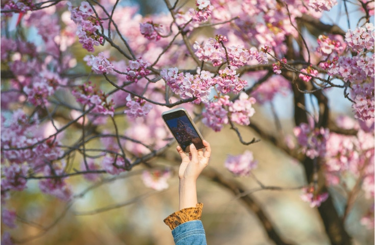 TOKYO: A woman takes pictures of cherry blossoms with her smartphone at Ueno park on Thursday.—AFP