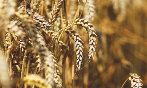 Ministry of National Food Security and Research on Thursday proposed restrictions on intra-district movement of wheat crop and ban on private sector from procuring the crop until public sector targets are achieved. — Reuters/File