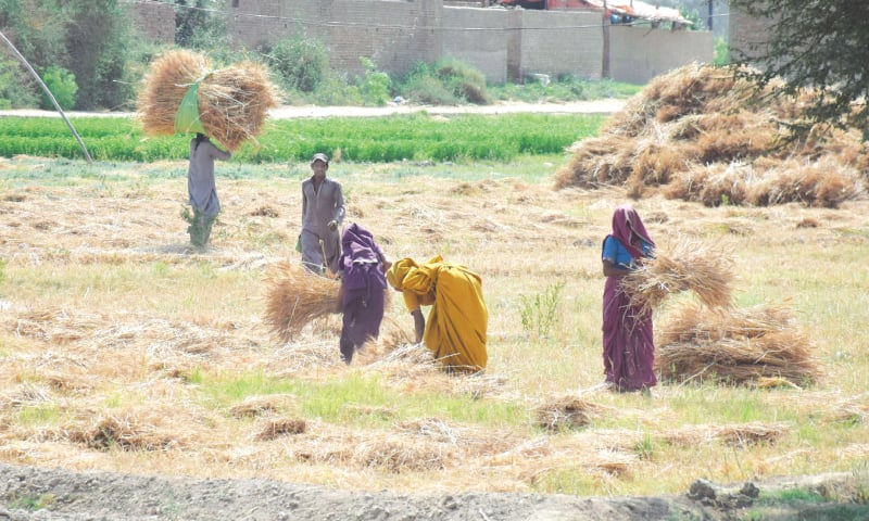 Wheat harvesting in Tando Allahyar.—Photo by Umair Ali