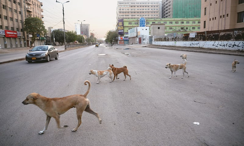 DOGS freely roam about on deserted roads in the metropolis as pictured here on M.A. Jinnah Road on Sunday. The deadly coronavirus has diverted media attention in Sindh away from the canines and their related viral disease.—Shakil Adil / White Star