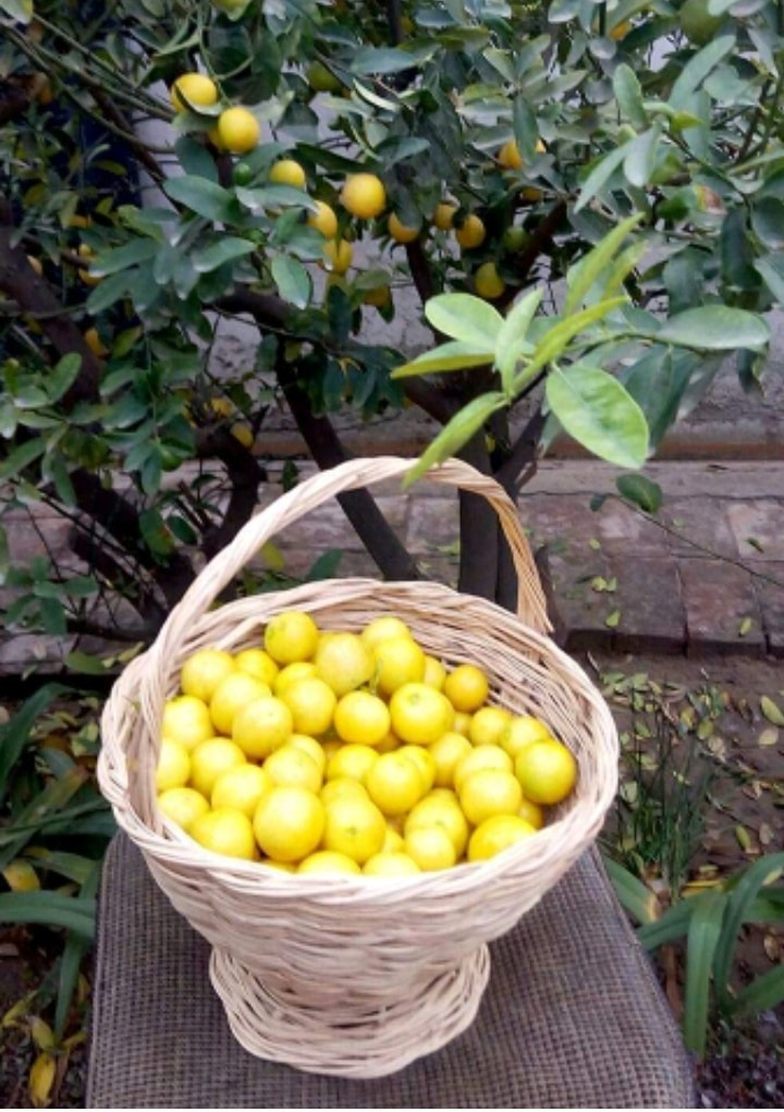 Lemons from Khuled's garden