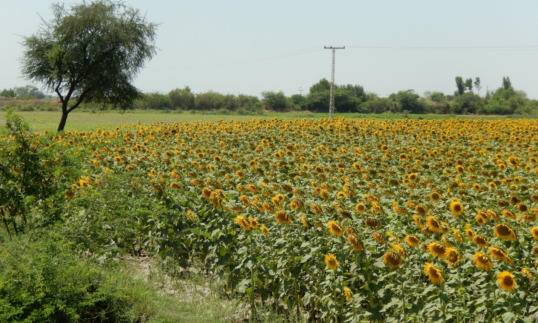 سورج مکھی کے کھیت