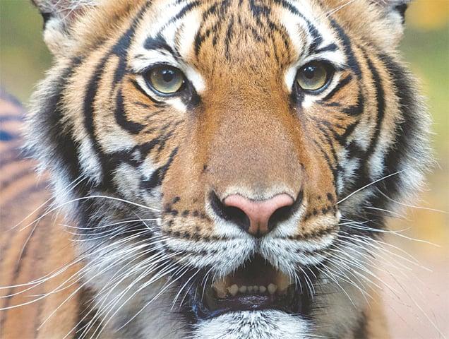 Nadia, a 4-year-old female Malayan tiger at the Bronx Zoo.—Reuters