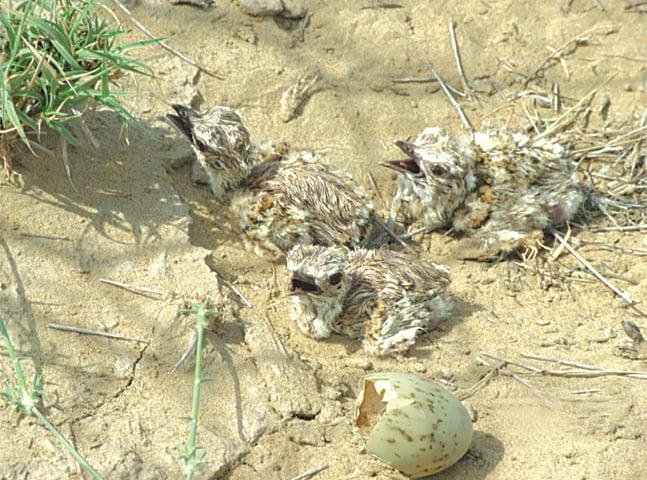 Houbara bustard hatchlings.