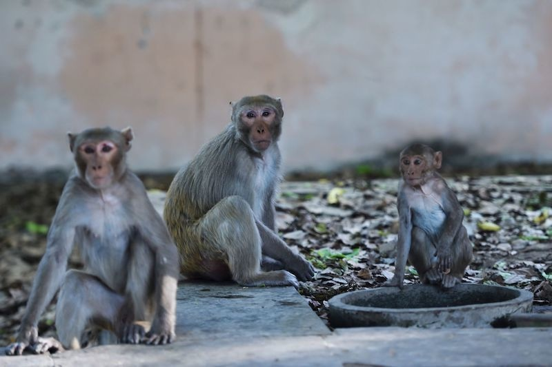 A group of monkeys sit on a roadside in New Delhi on April 8, 2020. Hundreds of monkeys have taken over the streets around the Indian president's palace leading an animal offensive taking advantage of the deserted cities as the giant country remains in a pandemic lockdown. — AFP