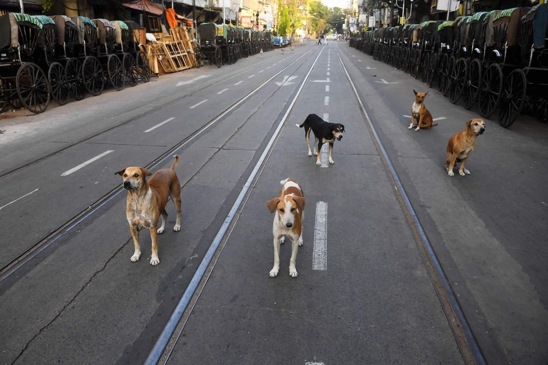 In this photograph taken on March 26, 2020, stray dogs gather on a deserted road during a government-imposed nationwide lockdown as a preventive measure against the COVID-19 coronavirus in Kolkata. - Hundreds of monkeys have taken over the streets around the Indian president's palace leading an animal offensive taking advantage of the deserted cities as the giant country remains in a pandemic lockdown. With India's 1.3 billion population and tens of millions of cars conspicuous by their absence, wildlife has moved to fill the void while also suffering from the coronavirus fallout. (Photo by Di