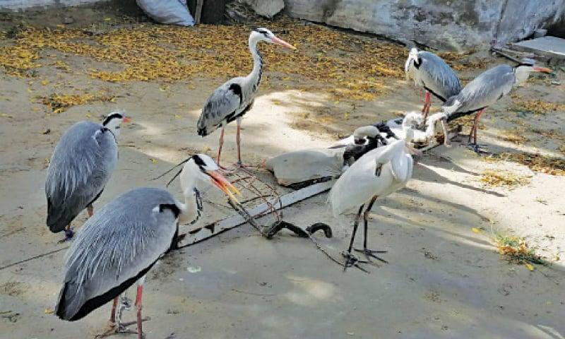 RAHIM YAR KHAN: Birds seized from poachers in wildlife department custody. — Dawn