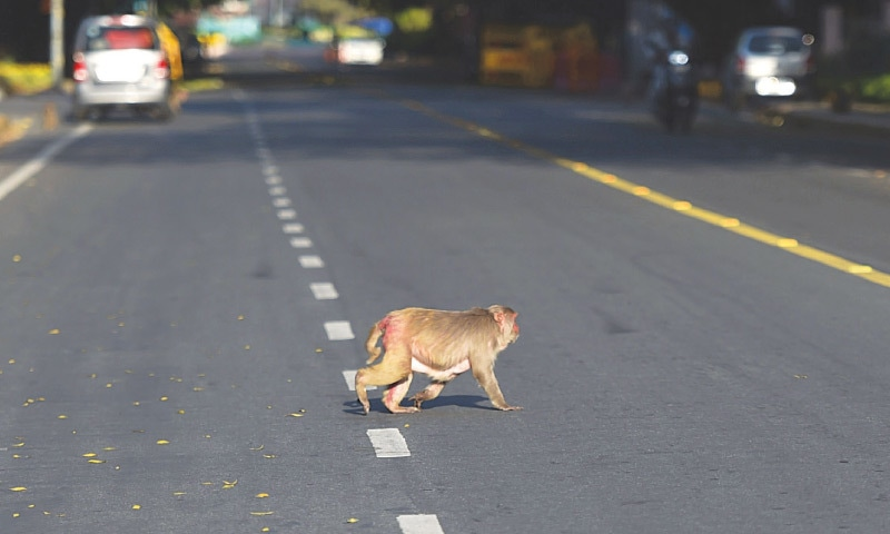 A MONKEY crosses a deserted road in New Delhi.—AFP