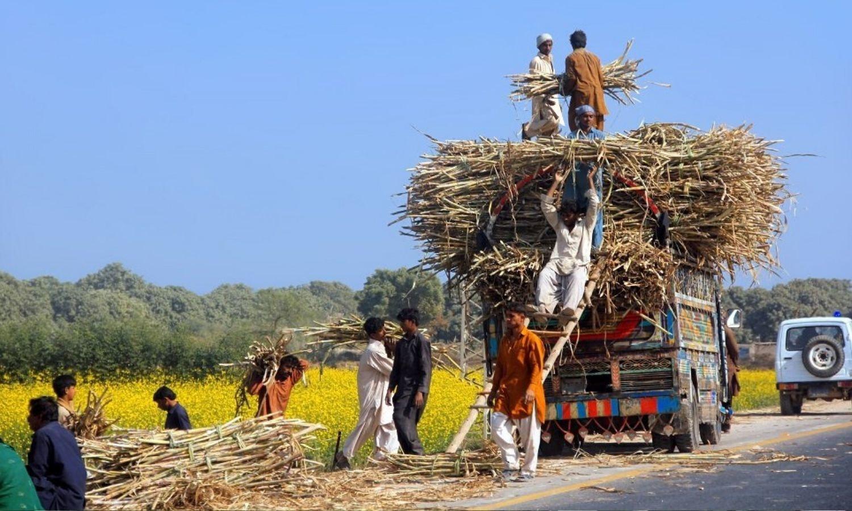 Sugarcane keeps widening its ambit, even in water-scarce regions like Sindh's Thar areas — Photo by Tahir Saleem