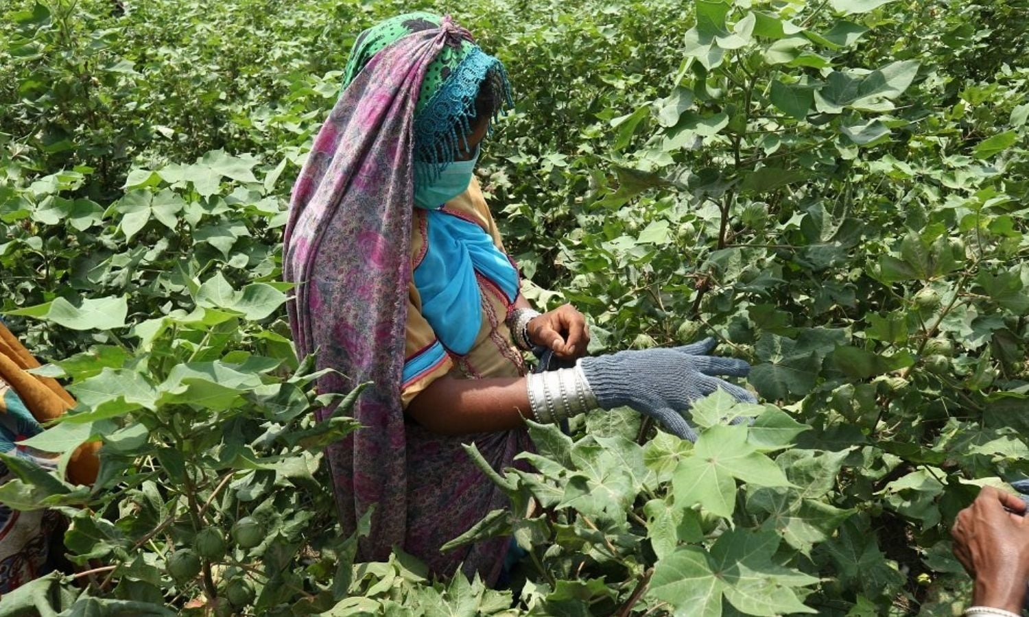 Due to lack of investment, research and helpful policies, cotton is making way for sugarcane in Pakistan — Photo courtesy: CABI