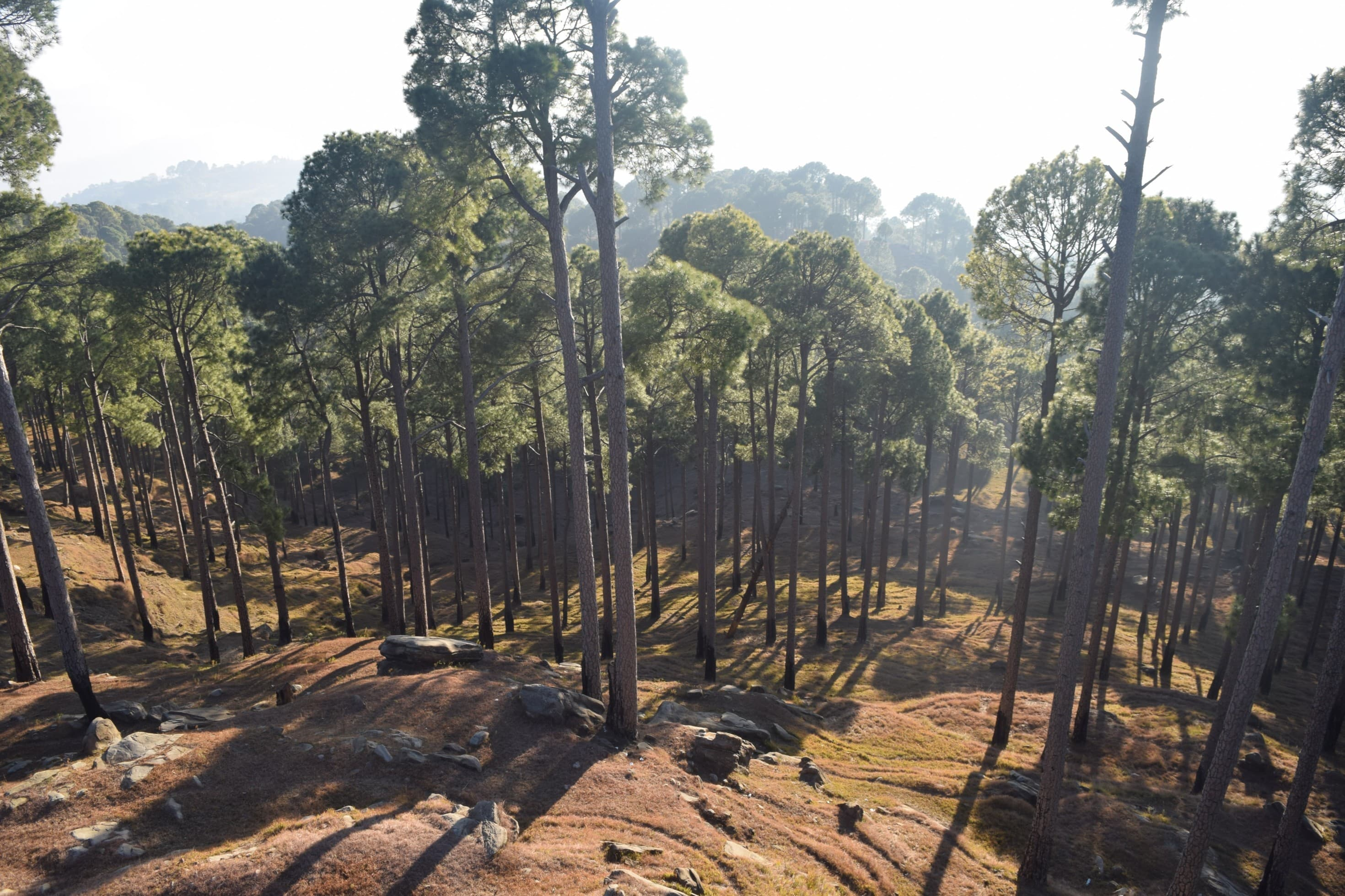 The dense pines of Kotli Sattian.