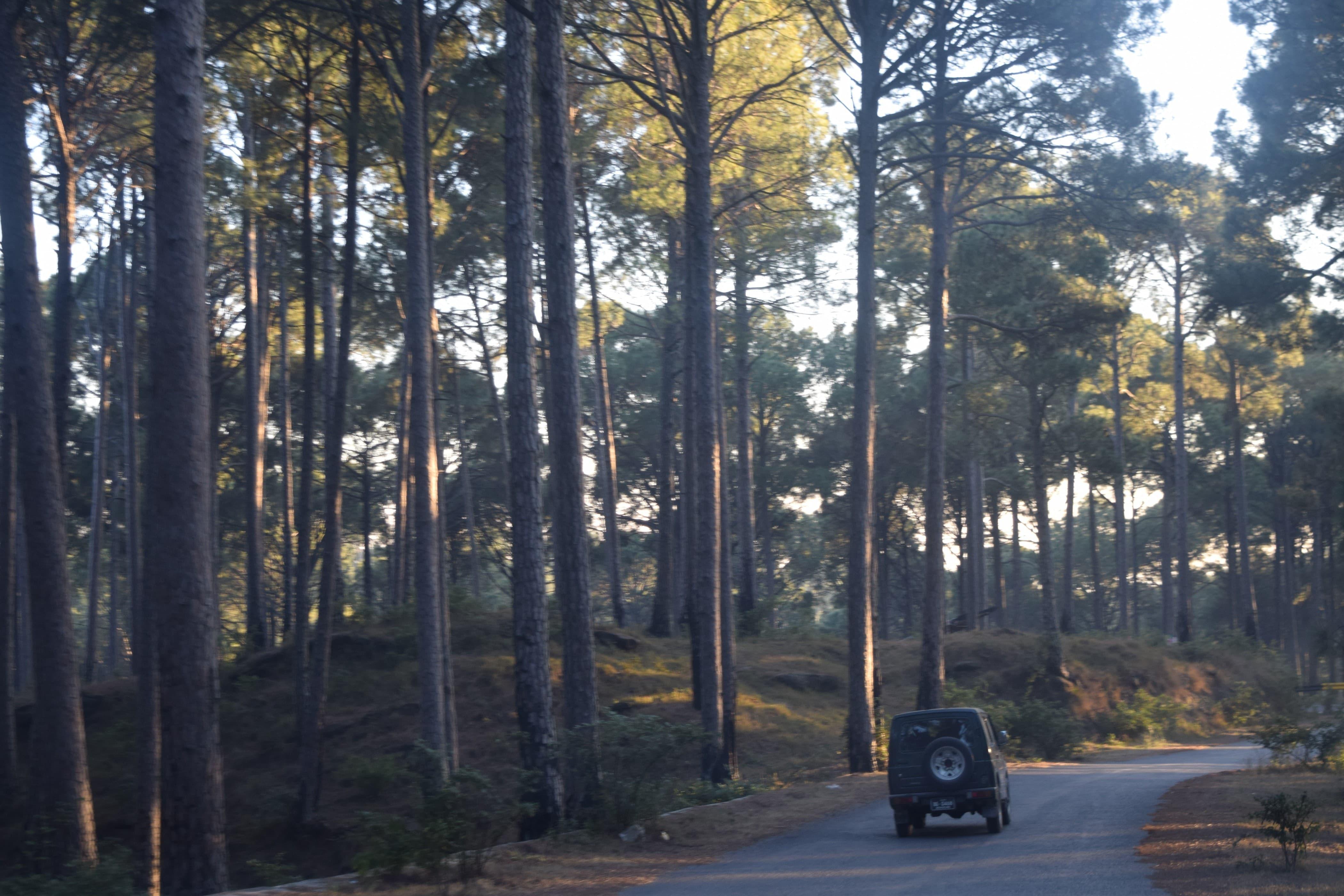 The dense pines of Ariari.