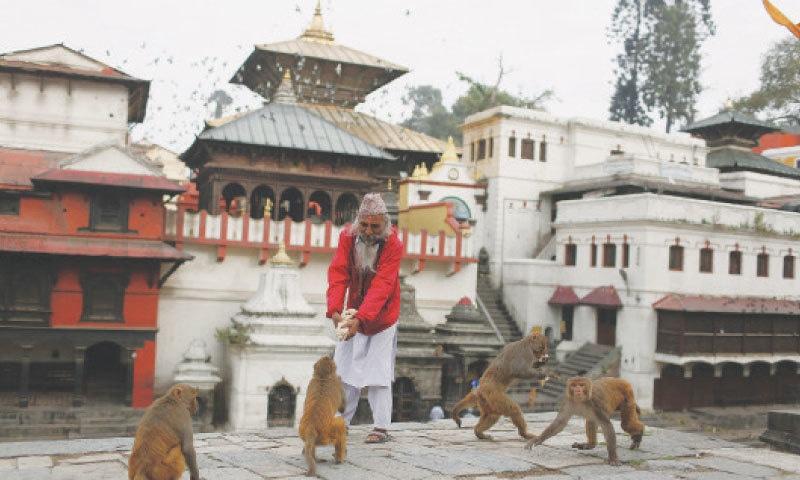 KATHMANDU: A man feeds monkeys at the Pashupatinath temple.—AP